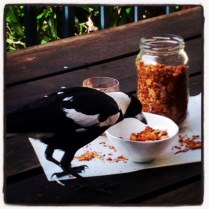 Anzac Day Granola And Gatecrashing Currawong